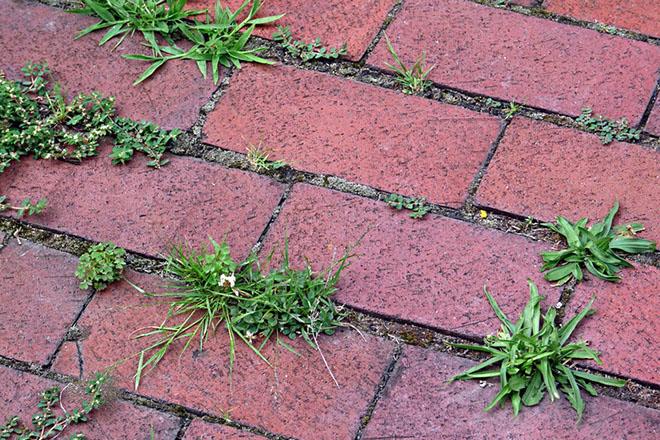 трава в швах брусчатки, сорняки в швах тротуарной плитки
